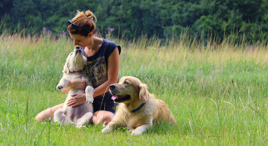 GoldenMajko najlepszy w Polsce blog z informacjami o rasie Golden Retriever